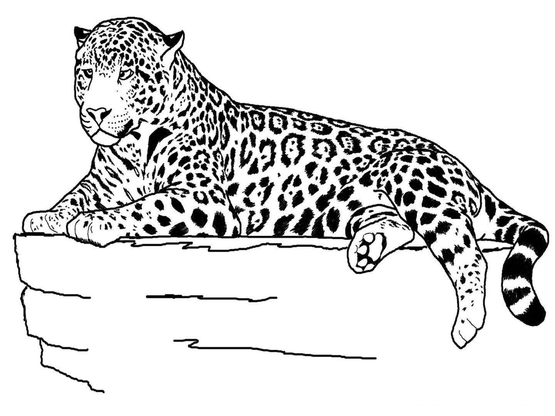 tigre para pintar imágenes y fotos